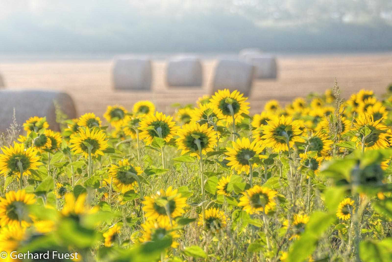 Erwartungsvoll blicken die Sonnenblumen dem anbrechendem Tag entgegen